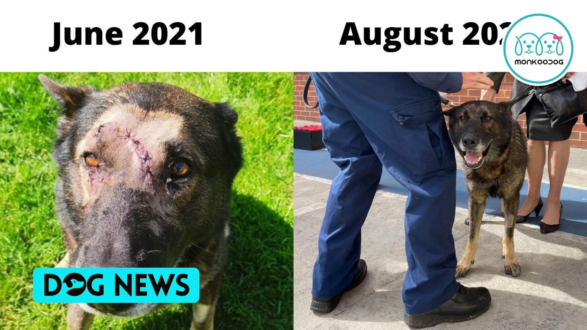 Kaiser, the Police dog, stabbed brutally, Rejoins Duty following full recovery. Receives a reward from the Mayor!!