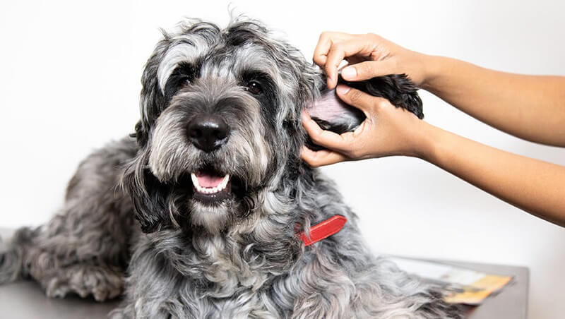 Skin Problems and Skin Conditions in Dogs