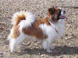 Tibetan Spaniel Dog Breed