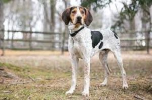 Treeing Walker Coonhound Dog Breed