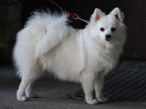 Volpino Italiano Dog Breed
