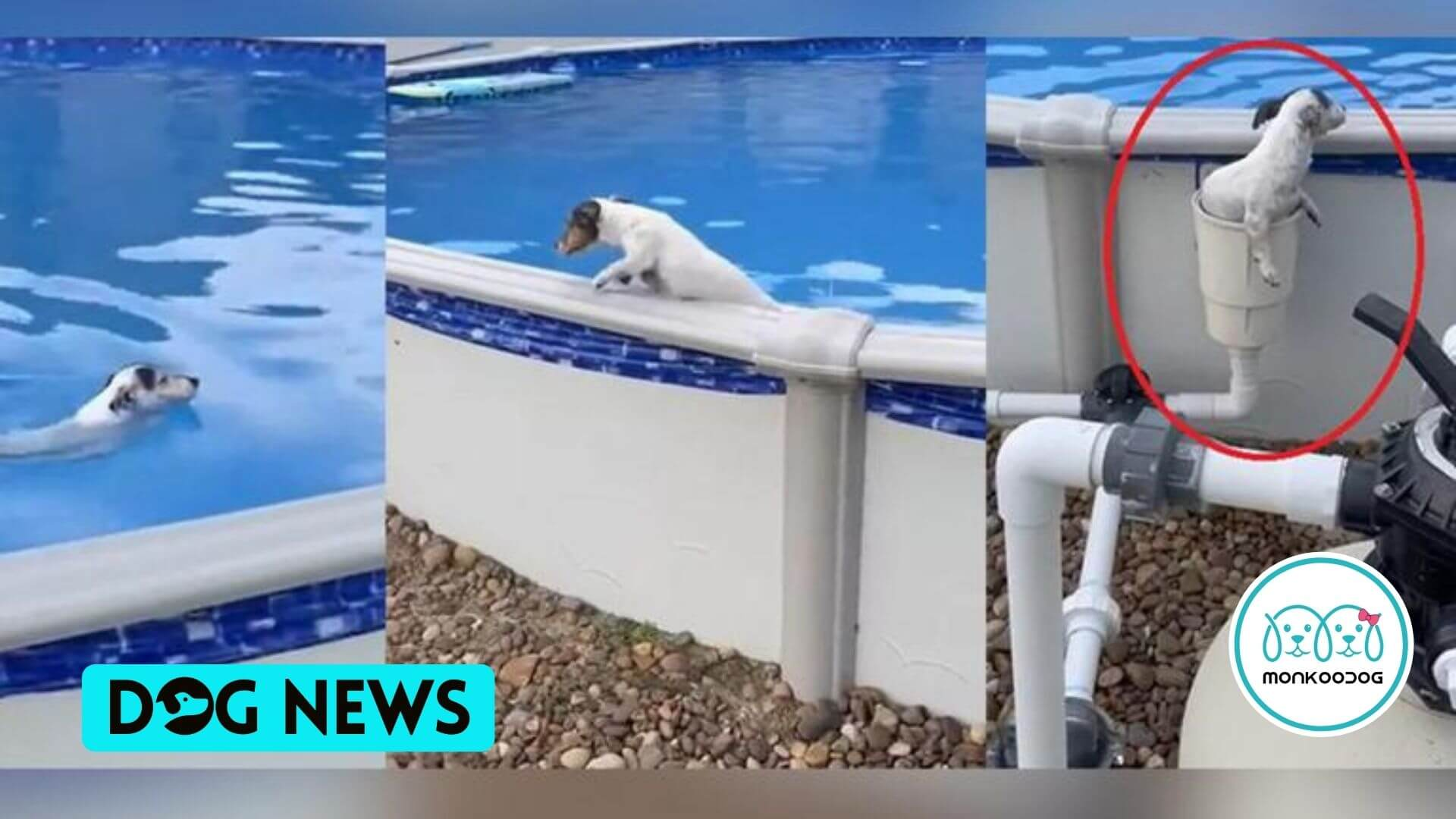 WATCH - The Paw-Dorable Video Of Dog Swimming in the Pool Takes An Unbelievable 'Secret Exit'; Going Viral by Monkoodog
