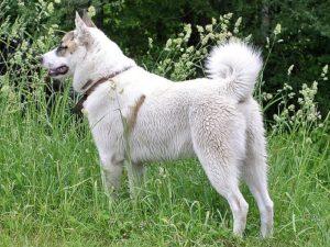 West Siberian Laika Dog Breed