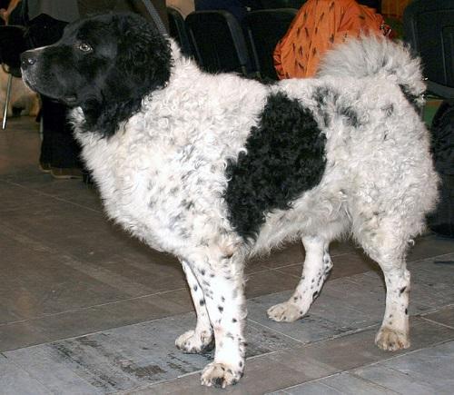 Wetterhoun Dog Breed
