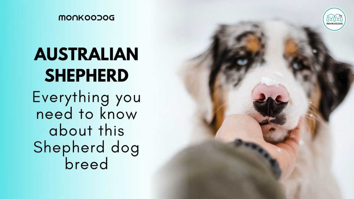 All You Need To Know About Australian Shepherd
