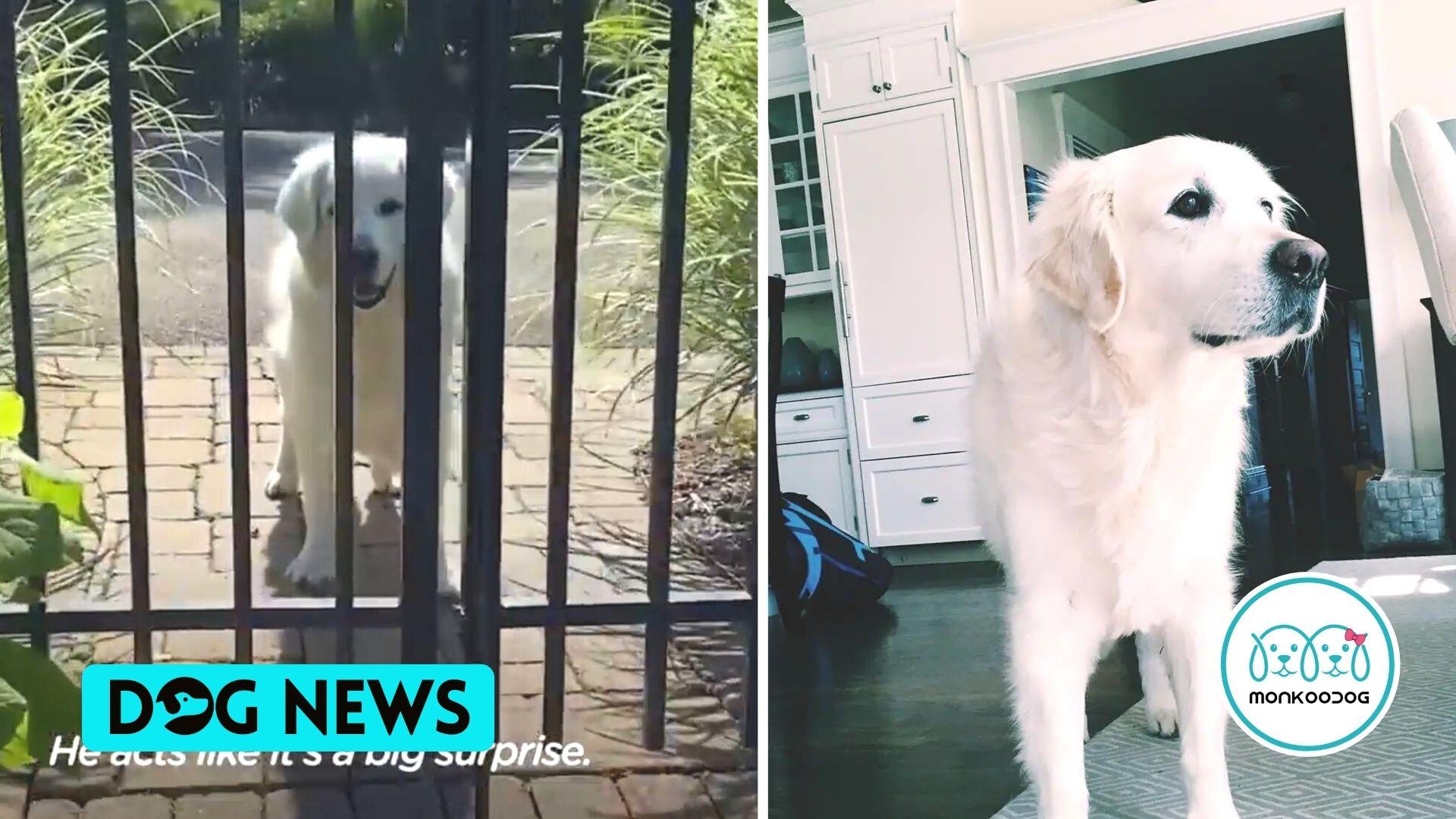 14-Year-Old Golden Retriever Brings Surprises