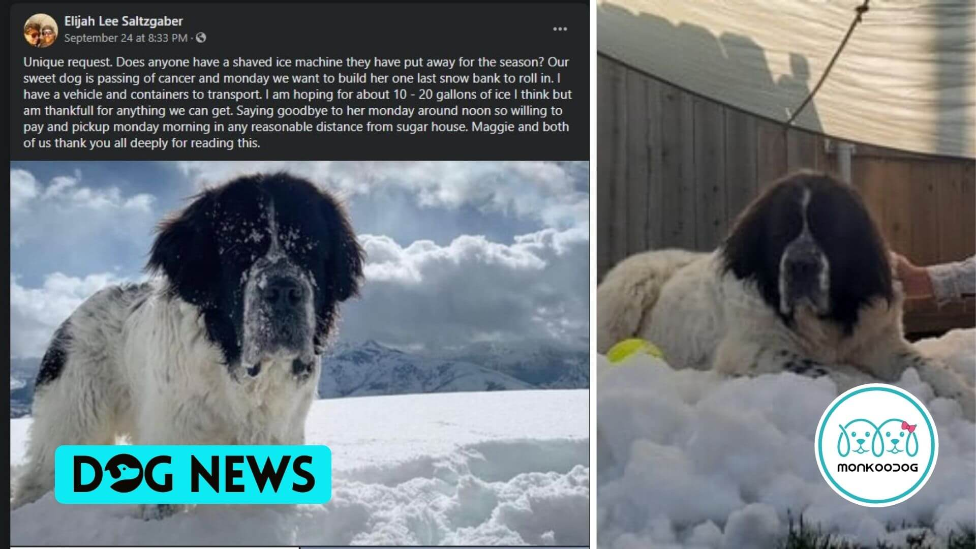 A Dying Dog Enjoys her snow pile