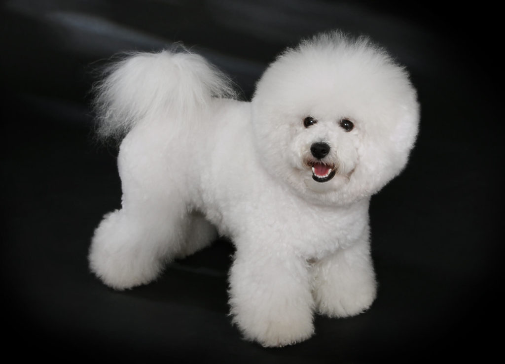#4 Bichon Frise with gorgeous curly hairs