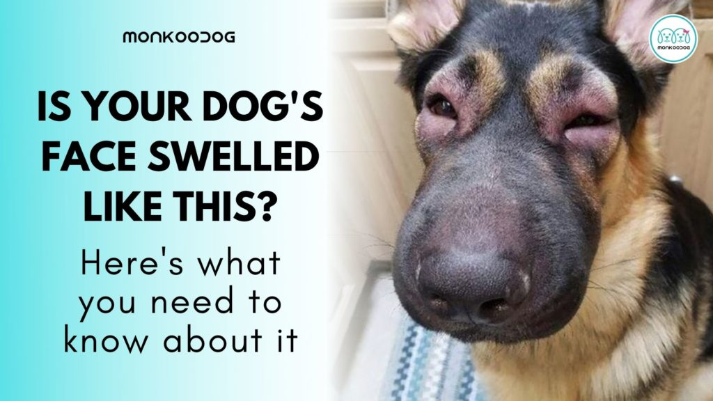 Everything you need to know about Facial Swelling in Canines.