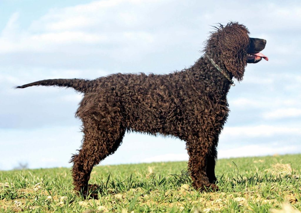 #9 Irish water spaniel with gorgeous curly hairs