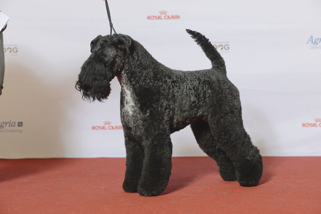 #8 Kerry blue terrier with gorgeous curly hairs