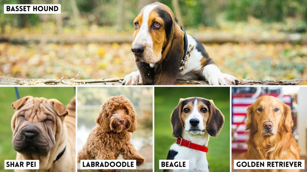 Scientists Reveal the Dog Breeds most Susceptible to Ear Infections. Basset Hounds, tops the list. (1)