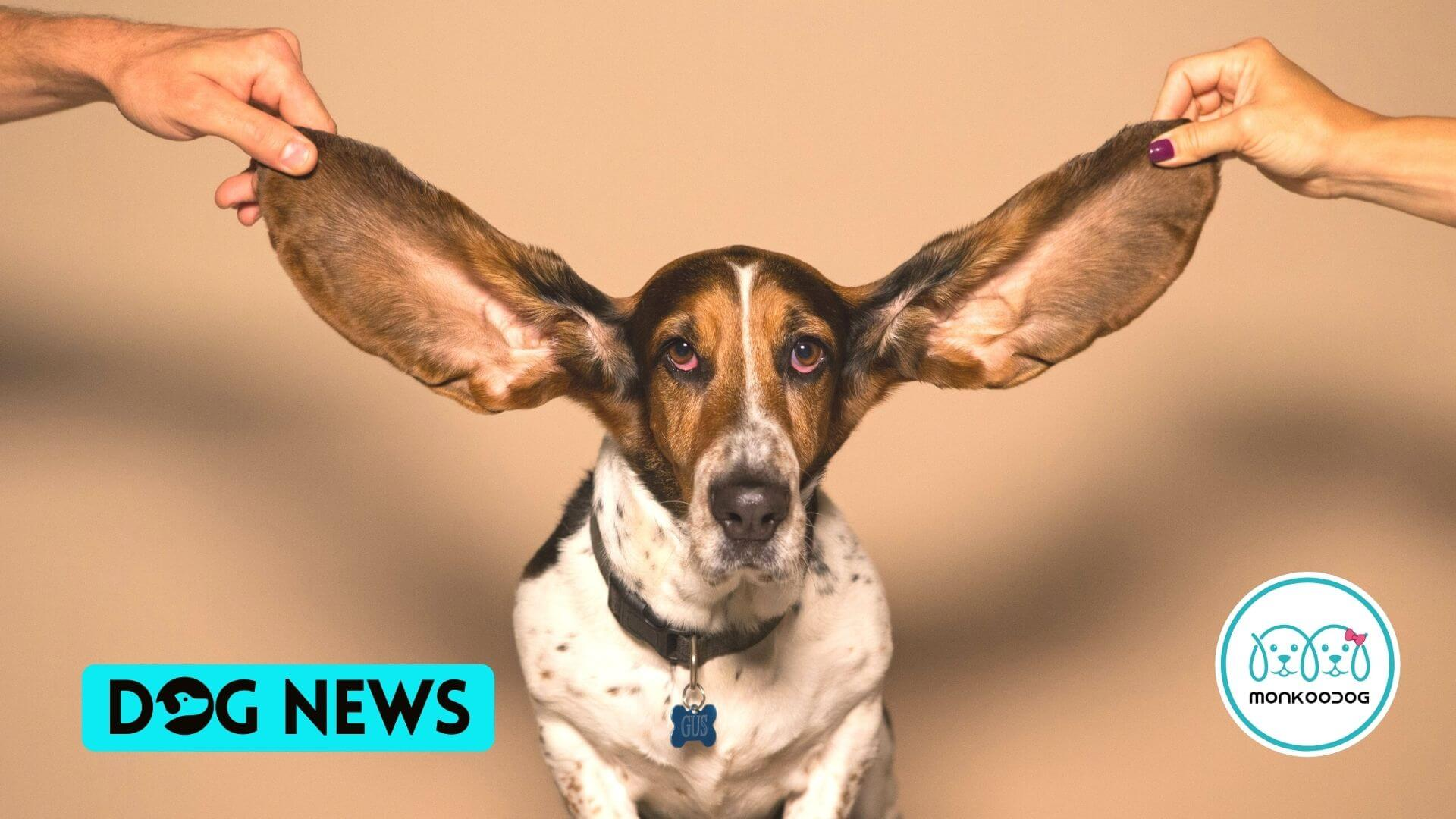 Scientists Reveal the Dog Breeds most Susceptible to Ear Infections. Basset Hounds, tops the list.