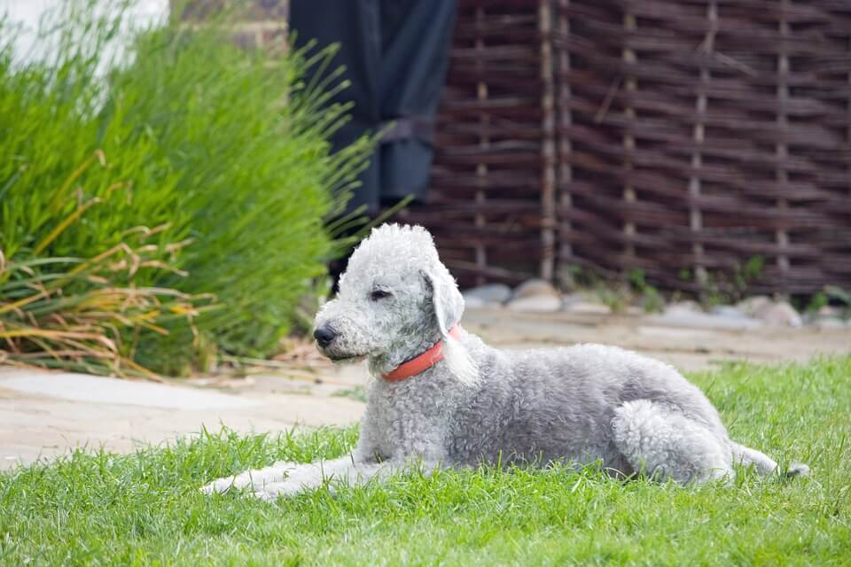 #7 Bedlington terrier with gorgeous curly hairs