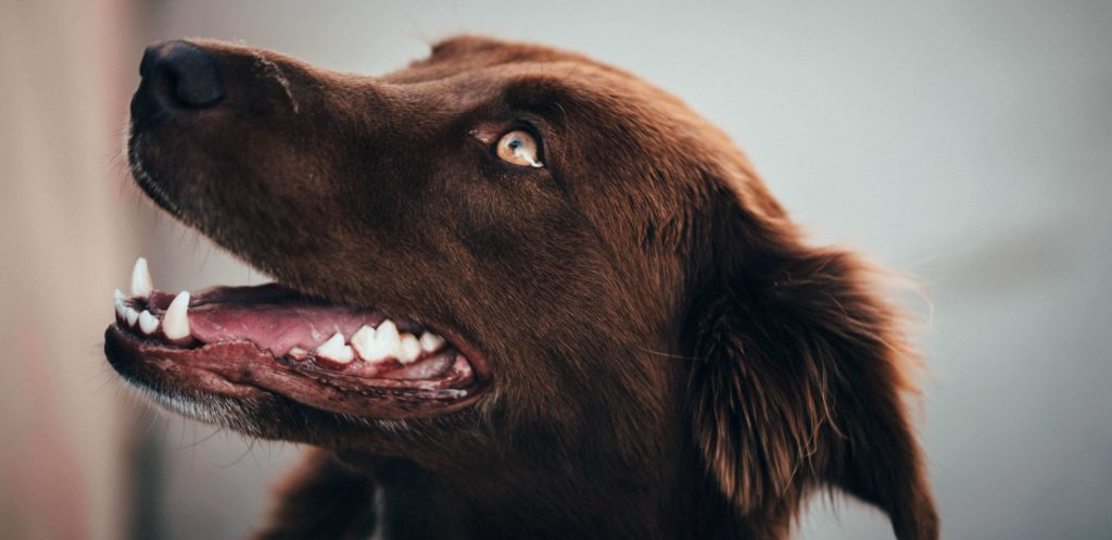 Dog stains and plaque on the teeth