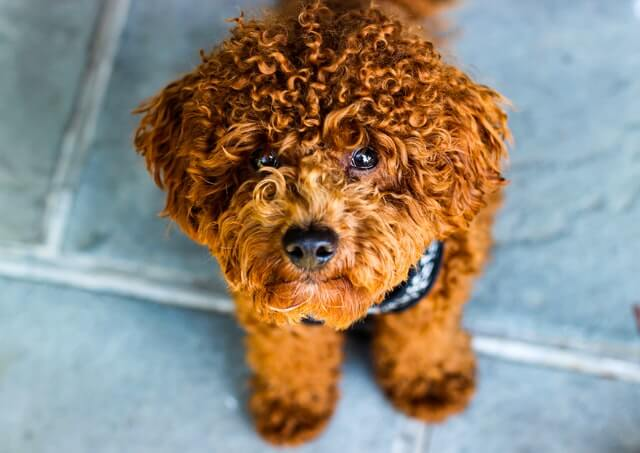 #1 Poodle with gorgeous curly hairs