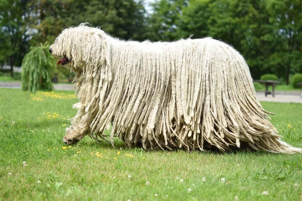#5 Komondor with gorgeous curly hairs