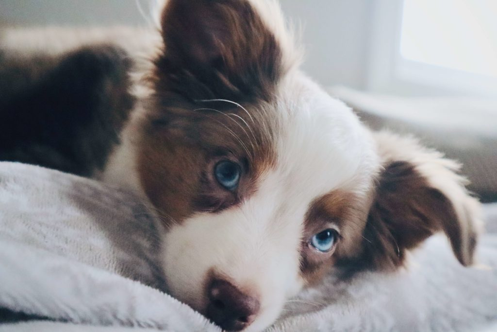 Australian Shepherd Dog Breed