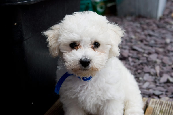 Bichon Frises, dog breeds for apartment