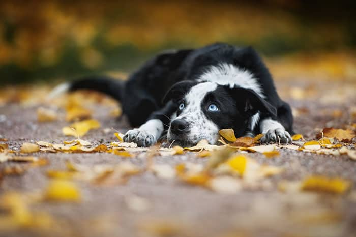 The eyes of a Border Collie