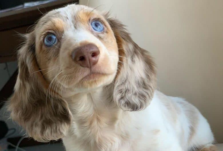 Dachshund Blue Eyes