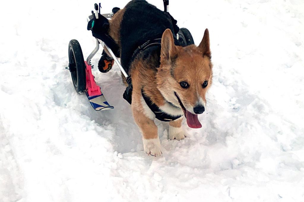 Engineer Builds A Ski-Wheelchair So His Disabled Corgi