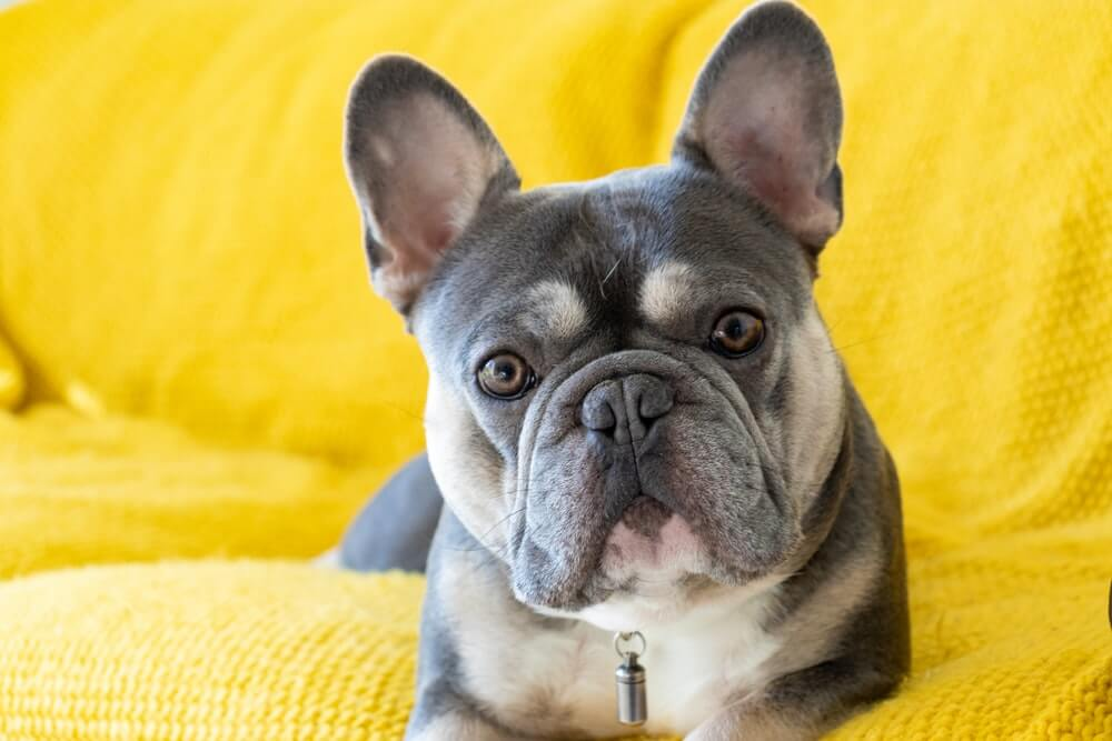 French Bulldogs, dog breeds for apartment