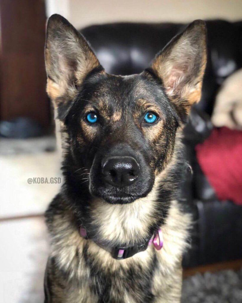German Shepherd Dog blue eyes