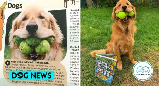 Golden Retriever that can hold 6 tennis balls made the record in the Guinness Book of World Record