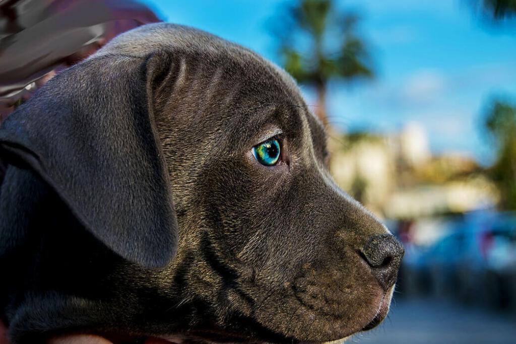Pit Bull Dog Breeds