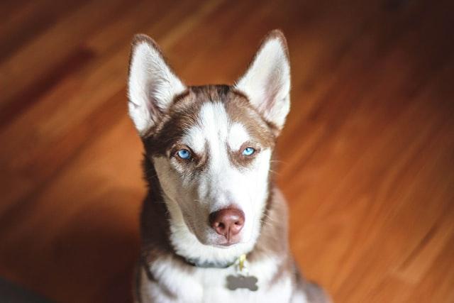Siberian-husky-dog-with-blue-eyes