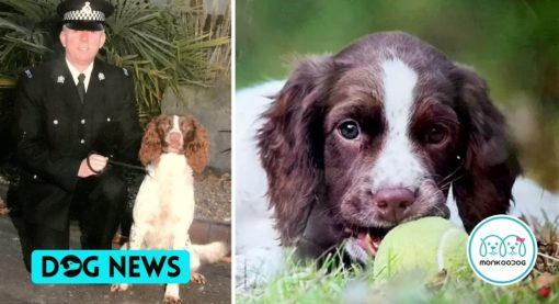 Tributes paid to 'exceptional' police sniffer dog Mij; widely admired for its stunning drug-finding Skills.