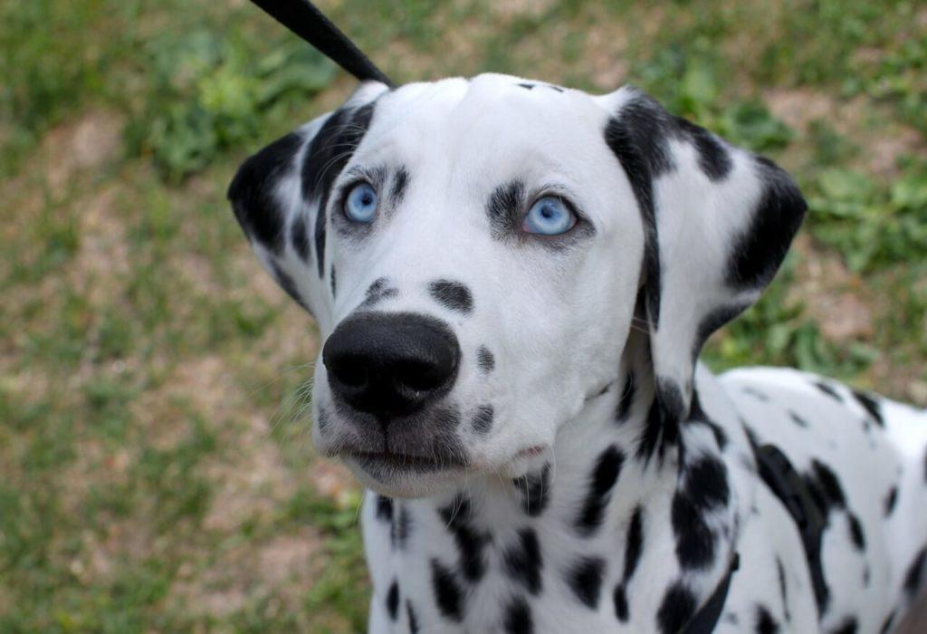 Unique Look Dalmatian