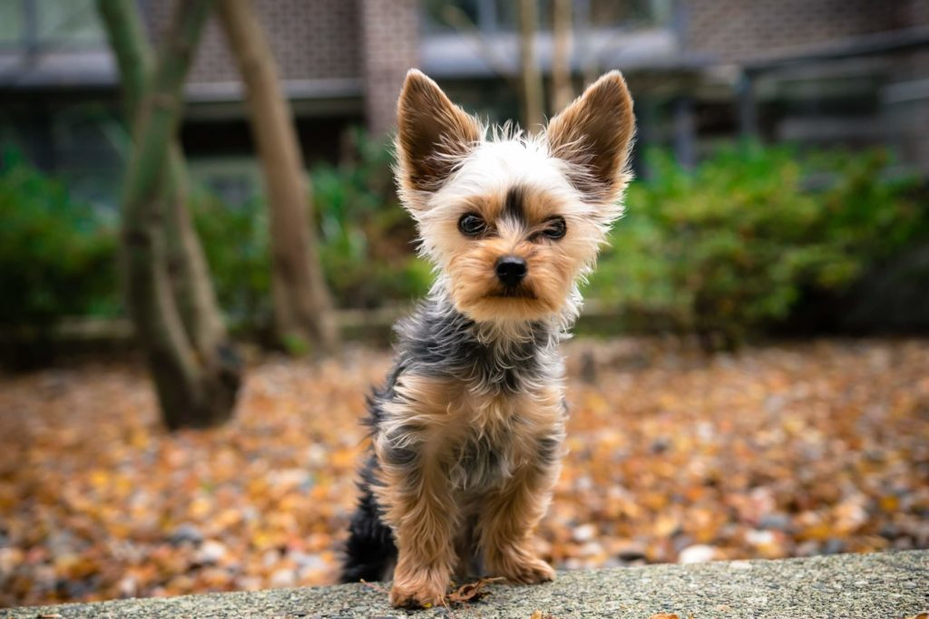Yorkshire Terrier is one of the most popular breeds